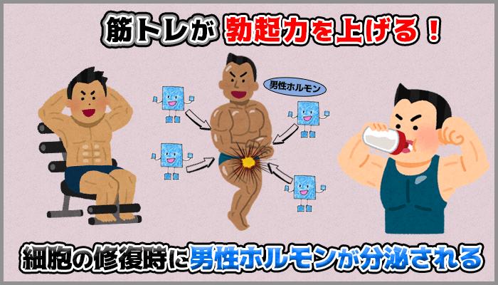 筋トレは勃起に関係のある男性ホルモンを分泌し中折れしにくいの図