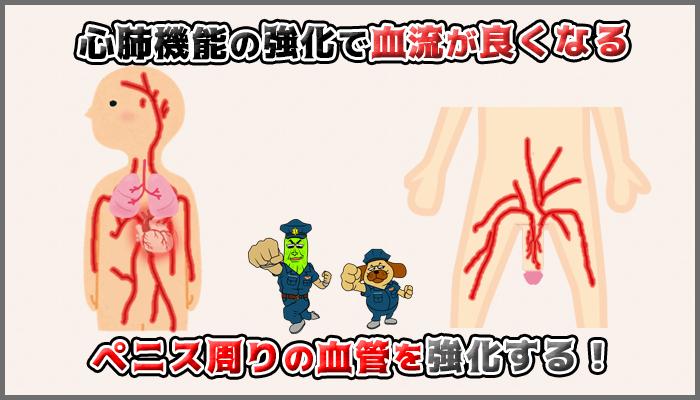 運動と筋トレをして血管を強化してペニスを硬くするの図