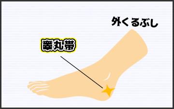 睾丸帯の位置の図
